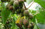 Характеристики плодовых кустарников малины